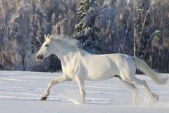 Weißes Pferd Lizenzfreie Stockfotografie