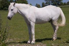 Weißes Pferd 2 Stockfoto