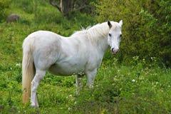 Weißes Pferd Lizenzfreies Stockfoto