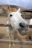 Weißes Pferd Stockfotografie