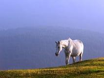 Weißes Pferd Stockfotos