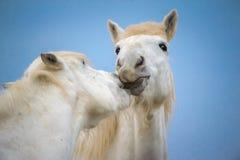 Weißes Pferd Lizenzfreies Stockbild