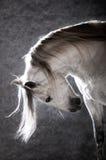 Weißes Pferd auf dem dunklen Hintergrund Stockfotografie