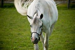 Weißes Pferd auf dem grünen Gebiet Lizenzfreies Stockfoto