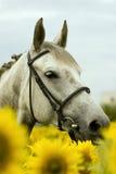 Weißes Pferd auf dem Sonnenblumegebiet Stockfotografie