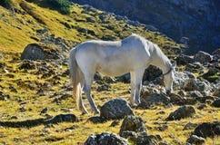 Weißes Pferd auf den Karpatenbergen lizenzfreie stockbilder