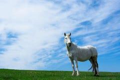 Weißes Pferd auf der Wiese. Lizenzfreie Stockfotos