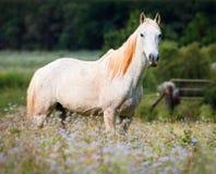 Weißes Pferd auf einem Gebiet Stockfotografie