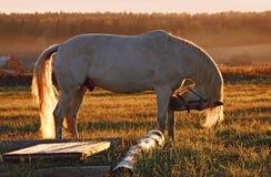 Weißes Pferd auf Feld Stockbilder