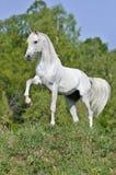 Weißes Pferd auf Hügel Stockfotografie
