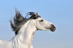 Weißes Pferd auf Himmelhintergrund Stockfoto