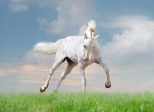 Weißes Pferd auf Hintergrund des blauen Himmels Stockfotografie