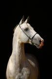Weißes Pferd auf Schwarzem Lizenzfreie Stockfotografie