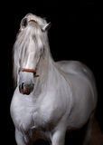 Weißes Pferd auf Schwarzem Lizenzfreies Stockbild
