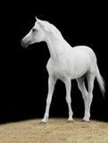 Weißes Pferd auf Schwarzem Lizenzfreie Stockbilder
