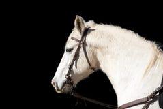 Weißes Pferd auf schwarzem Hintergrund Stockbilder