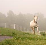 Weißes Pferd, das über Anstieg kommt Stockfotografie