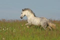 Weißes Pferd, das auf die grüne Wiese galoppiert Stockfotos