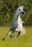 Weißes Pferd, das auf grüne Wiese galoppiert Stockbilder
