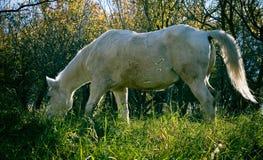 Weißes Pferd, das in der Kälte weiden lässt Lizenzfreie Stockfotografie