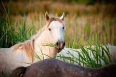 Weißes Pferd, das Gras isst stockfotografie