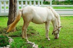 Weißes Pferd, das Gras isst Lizenzfreie Stockbilder