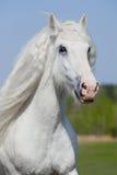 Weißes Pferd, das in Sommer läuft Stockfoto