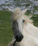 Weißes Pferd in den französischen Alpen Lizenzfreie Stockbilder