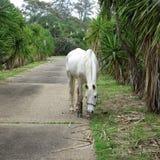 Weißes Pferd in der Gasse Stockfoto