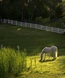 Weißes Pferd in der Hirteneinstellung Lizenzfreies Stockfoto