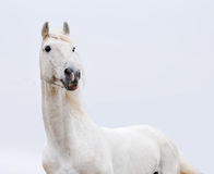 Weißes Pferd in der hohen Taste Lizenzfreie Stockfotos