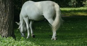 Weißes Pferd in der Weide stock video footage