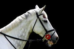Weißes Pferd getrennt auf schwarzem Hintergrund Lizenzfreie Stockbilder