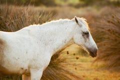 Weißes Pferd im Sonnenuntergang lizenzfreies stockbild