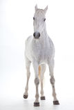 Weißes Pferd im Studio Stockfoto