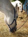 Weißes Pferd isst Heu. Lizenzfreie Stockbilder