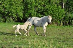 Weißes Pferd mit Fohlen Lizenzfreie Stockfotos
