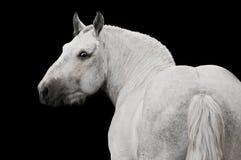 Weißes Pferd Stallionportrait getrennt auf Schwarzem Lizenzfreies Stockfoto