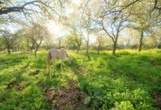 Weißes Pferd in sunlit Wiese Lizenzfreie Stockfotografie