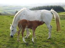 Weißes Pferd und Fohlen Stockfoto