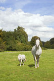 Weißes Pferd und Pony stockfotografie