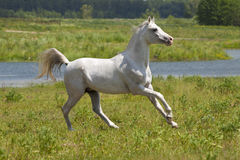 Weißes Pferd und Wasser Stockfotografie