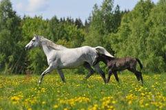 Weißes Pferd whith Fohlen trottet auf die Wiese Stockbild