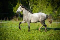 Weißes Pferdelack-läufer trotten auf die Wiese Stockfotos