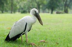 Weißes pilican ist eine Krankheit im Park lizenzfreie stockfotos