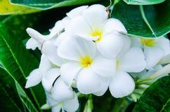 Weißes Plumiria Stockbild