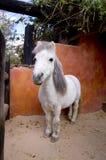 Weißes Pony Stockfoto