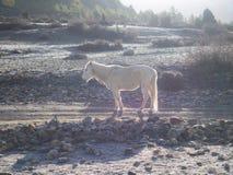 Weißes Pony, das morgens für warmes ein Sonnenbad nimmt Lizenzfreie Stockfotografie