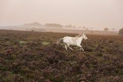 Weißes Pony, das am nebelhaften Sonnenaufgangmorgen im neuen Wald einzieht Lizenzfreie Stockfotos
