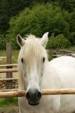 Weißes Pony in der Hürde stockfotos